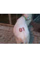 hayvan numaralandırma seti damga