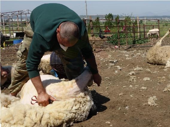 Koyun Kırkma Makası