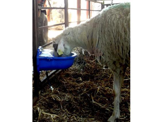 Koyun Suluğu