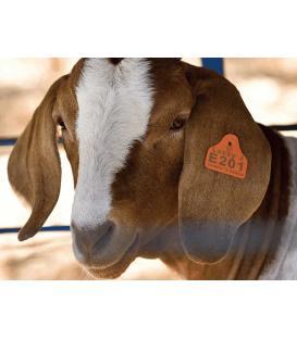 Küçükbaş koyun ve keçi kulak küpesi